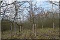SJ7948 : Bateswood Country Park: plantation by Jonathan Hutchins