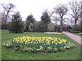 TQ3977 : Daffodil display, Greenwich Park by Stephen Craven