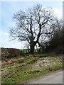 NZ4305 : Tree on the east side of Haggitt Hill Lane by Christine Johnstone