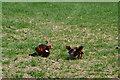 SU1523 : Fighting pheasant cocks by David Martin