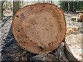 TQ2897 : Felled Tree, Trent Park, Cockfosters, Hertfordshire by Christine Matthews