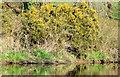 J3268 : Whin bushes near Shaw's Bridge, Belfast (April 2015) by Albert Bridge