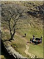 NY7667 : Sycamore Gap and sheepfold by Oliver Dixon