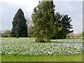 TQ0658 : Crocuses on the Lawn, RHS Garden at Wisley by David Dixon