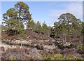 NH2023 : Scots pine trees, Coille na Fèithe Buidhe by Craig Wallace