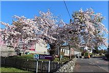 NX6280 : Cherry Blossom in Dalry by Billy McCrorie