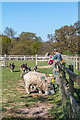 TQ3398 : Feeding the Sheep, Forty Hall Farm, Enfield by Christine Matthews