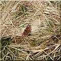 NS7802 : Peacock butterfly by Alan O'Dowd