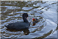 TQ3296 : Coot and Chick, New River Loop, Enfield by Christine Matthews