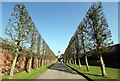 SJ6780 : Pleached Lime Avenue at Arley Hall by Jeff Buck