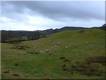 SD3389 : Sheep grazing opposite St Paul, Rusland by Basher Eyre