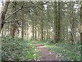 SO8066 : Path through conifers in Shrawley Wood by Jeff Gogarty