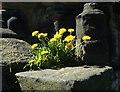 SE3706 : Monk Bretton Priory - Dandelions by Neil Theasby