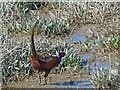 ST3382 : A pheasant on the foreshore, Newport Wetlands by Robin Drayton