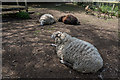 TQ2897 : Sheep at Wildlife Rescue Centre Trent Park, London N14 by Christine Matthews