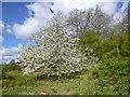 TQ2997 : Cherry Blossom, Trent Park, Enfield by Christine Matthews