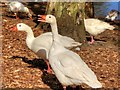 SD8303 : White Geese at Heaton Park by David Dixon