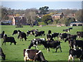 SK6515 : Cattle grazing on the flood plain of the River Wreake by Bikeboy