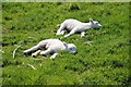 SO2454 : Lambs enjoying the sun by Philip Halling
