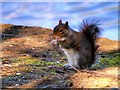 SD8303 : Grey Squirrel at the Boating Lake in Heaton Park by David Dixon