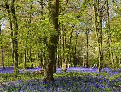 SU6887 : Bluebells, Nuffield, Oxfordshire by Oswald Bertram