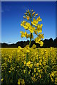 SE8343 : Oil Seed Rape crop at Rabbit Hill, Thorpe Common by Ian S