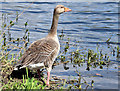 J3470 : Greylag goose, River Lagan, Stranmillis, Belfast (April 2015) by Albert Bridge