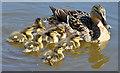 J3470 : Duck and ducklings, River Lagan, Stranmillis, Belfast (April 2015) by Albert Bridge