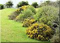 J4947 : Whin bushes, Downpatrick (May 2015) by Albert Bridge