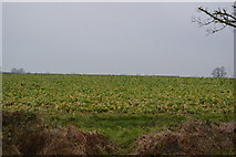 TG0705 : Sugar Beet by N Chadwick