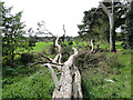 TF7802 : Fallen pine tree in the shelter belt by Adrian S Pye