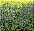 TL7799 : Flowering oilseed rape and Forget-me-nots by Evelyn Simak