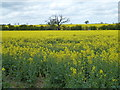 TF0610 : Rapeseed near the level crossing by Richard Humphrey