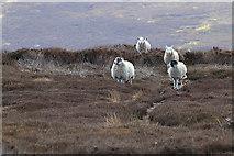 SE6096 : Bransdale sheep by Pauline E