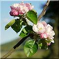 SO6023 : Bramley blossom by Jonathan Billinger