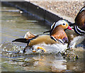 J4967 : Duck, Castle Espie by Rossographer