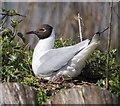 J4967 : Black-headed Gull, Castle Espie by Rossographer