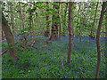 TA0135 : Bluebells in Folly Wood, Risby by Paul Harrop
