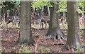 TL4300 : Deer in Woodland, Warren Woods, Essex by Christine Matthews