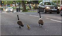 TQ3296 : Canada Geese, Church Street, Enfield by Christine Matthews