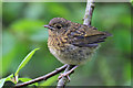 SD4774 : Robin fledgling, Leighton Moss Reserve by Pauline E