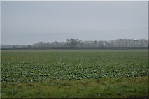 TG0604 : A field of beet by N Chadwick