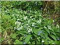 SK9830 : Allium ursinum by Bob Harvey