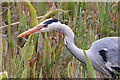 SD4875 : Grey heron by Pauline E