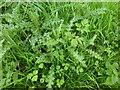 SK9829 : Cirsium vulgare by Bob Harvey