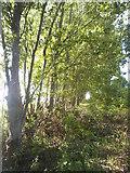 TQ1665 : Row of trees on Stokes Field by David Howard