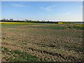 TL3658 : Patchy oilseed rape field by Hugh Venables
