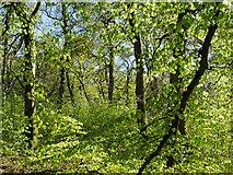NH5757 : Beech trees in Drummondreach Oak Wood by Julian Paren