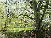 NH5857 : Beside the lochan in Drummondreach Oak Wood by Julian Paren