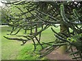 SP3265 : Shoots of Monkey Puzzle Tree, upper Jephson Gardens, Royal Leamington Spa by Robin Stott